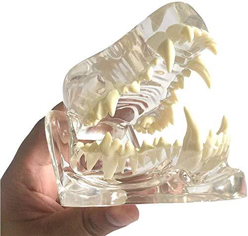 SHRFC Hunde Hund Zähne Modell -Transparente Schädel Kiefer Knochen Anatomie Tier Oral Modell Lehre Veterinärmedizinische Trainingshilfe