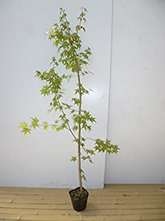 【5本セット】 イロハモミジ 樹高1.5m前後 18cmポット (いろは紅葉 イロハカエデ いろは楓 紅葉 モミジ) 苗木 植木 苗 庭木 生け垣 5本 5