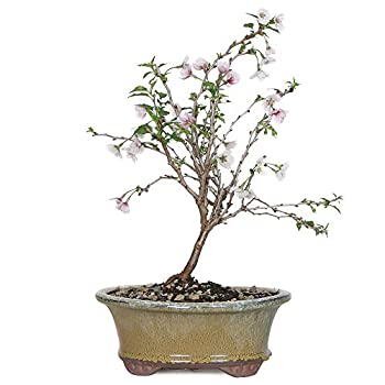 Brussel s Bonsai Live Dwarf Cherry Outdoor Bonsai Tree-3 Years Old 8  to 12  Tall with Decorative Container Small