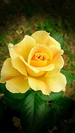 "Haritham""Golden Yellow"" Rose Flower Plant Home Garden Plant 1 Grafted Rose Live Plant"