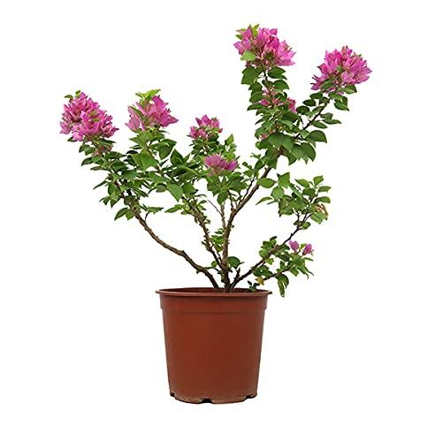 Bougainvillea Mini Thai Planta Natural Buganvilla o Bugambilia Miniatura