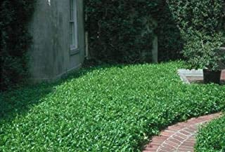 Classy Groundcovers, Asiatic Jasmine Asian Jasmine, Dwarf Jasmine, Japanese Star Jasmine (50 Bare Root Plants)