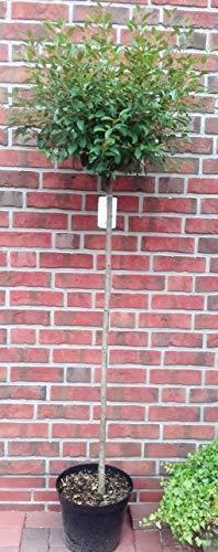 Kugelkirsche, Stämmchen, Höhe: 170-180 cm Prunus fruticosa Globosa, Steppenkirsche + Dünger