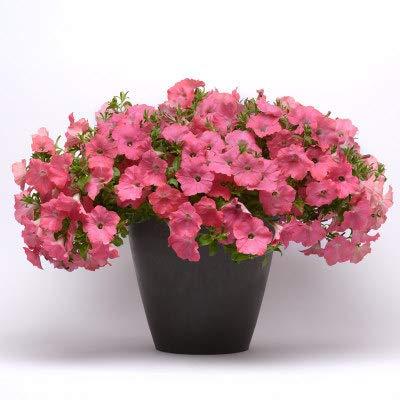 HTHJA Blumensamen Bunte,Petunien-Samen, die in Allen Jahreszeiten blühen, Innen- und Außen-Topfblumen 500g Lachsrot,Blumensamen winterhart mehrjährig