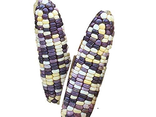 珍しい 紫白とうもろこし 種 96粒 F1品種