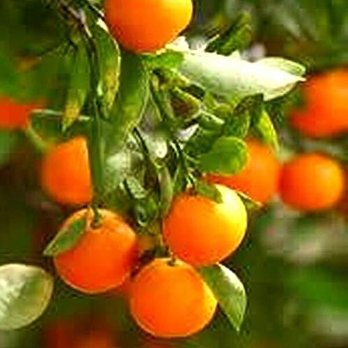 FERRY Bio-Saatgut Nicht nur Pflanzen: Mandarine ~ Clementine TRANSPLANTIERTEN Fruit leicht zu schälen