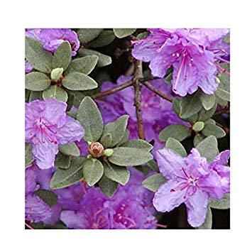 SANHOC Samen-Paket: Rhododendron Hybrid 'Ramapo' 15cm Topf SizeSEED