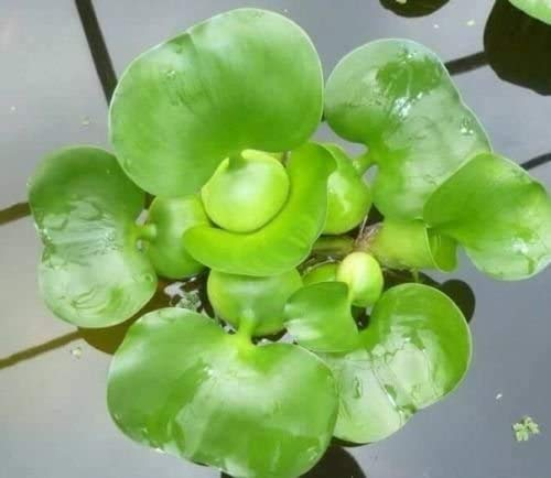 3 Water Hyacinth - Floating Live Pond Plants
