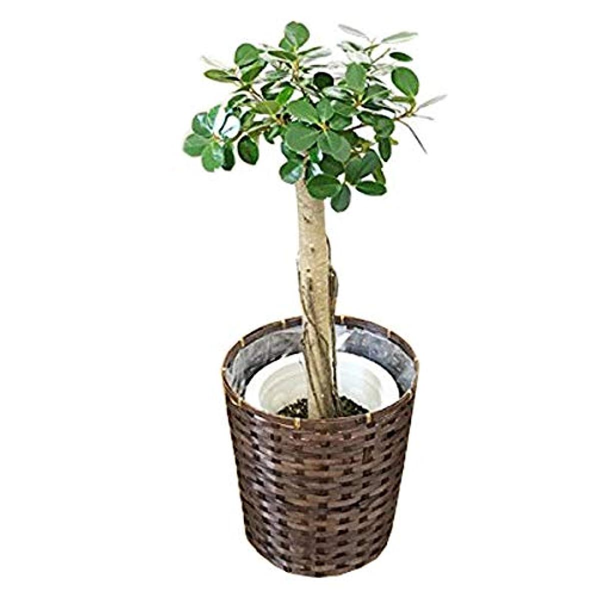 健康的見習い知性ガジュマル パンダガジュマル 鉢カバー付き ゴムの木 希少種 大型 観葉植物 本物 インテリア ガジュマルの木 ガジュマロ
