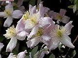 Clematis Montana 10 semi
