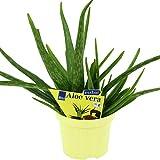 Aloe Vera en Maceta Planta Pequeña para Interior y Exterior Propiedades Regenerantes