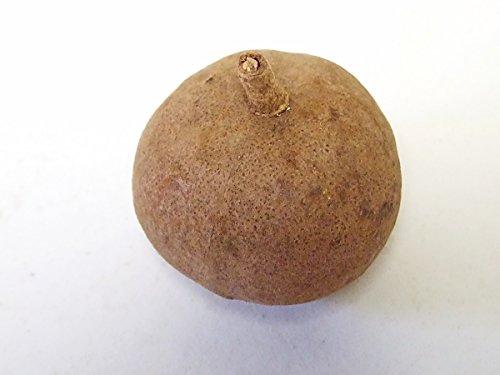 CF-NatureCraft Tingui Nuss / 10 Stück ca.6cm/ Nussfrucht/Zapfenfrucht/exotische getrocknete Dekofrüchte/Gestecke/Kränze/Weihnachten