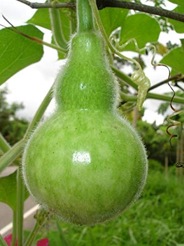PLAT FIRM GRAINES DE Germination: NEU !! 100 Samen Riesen Kalebassenbaum Calebassier ???????????? Hause Vogel