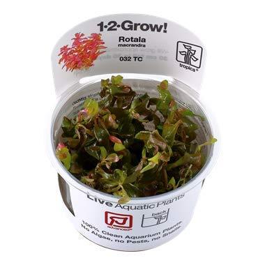 【Tropica・水草】 ロタラ・マクランドラ (1・2・Grow!) ※無農薬 ※スネール無し (2カップ)