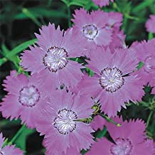 dianthus siberian blues