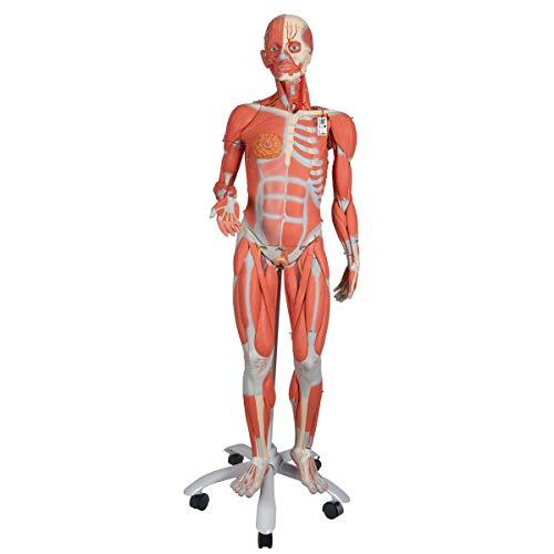 3B Scientific menselijke anatomie - spierfiguur op metalen statief met 5 wielen, vrouwelijk + gratis anatomiesoftware - 3B Smart Anatomy