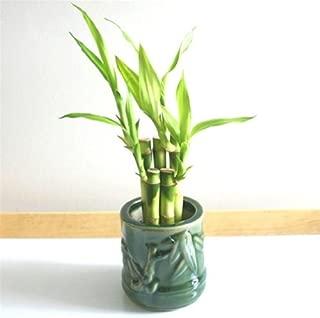 !Lucky Bamboo!