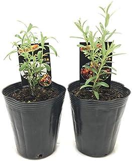 (株)赤塚植物園 ④ 栄養満点!話題のスーパーフード シーベリーの苗 雄×雌セット