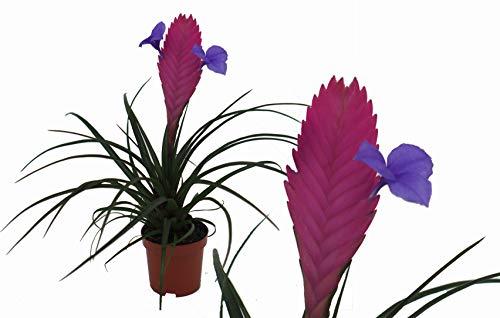 Bromelie (Tillandsia cyanea), Sorte: Anita, exotische Zimmerpflanze (1)