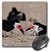3dRose Mouse Pad Black Skimmer Adult Feeding Fish to Young, South Padre Island, Texas - 8 by 8-Inches (mp_279563_1) [並行輸入品]