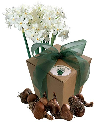 Dutch Flower Lady 10 Bulbos de Flores Paperwhites - Bulbos de Narcisos Blanco