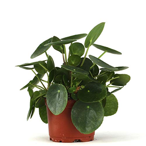 Pilea peperomioides - Chinese Money Plant 4' Pot