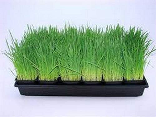 Manufacturer direct Limited time for free shipping delivery Cat Grass jocad Seeds 500