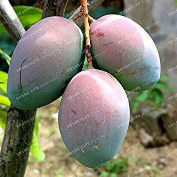 Vistaric 2 Pcs Graines De Mangue Mini Graines De Mangifera Indica Bonsaï Graine D'arbre Rare Bio Délicieux Plant De Graines De Fruits DIY Pour La Maison Jardin 4