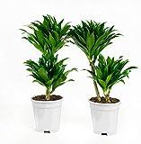 Zimmerpflanzen von Botanicly – 2 × Drachenbaum – Höhe: 65 cm – Dracaena fragr. compacta