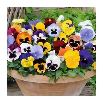Creative Farmer Hybrid Pansy Mixed Flower Seeds Amazon In Garden Outdoors