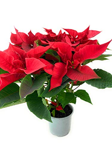 Poinsettia Red Real Plant Christmas 1L Pot