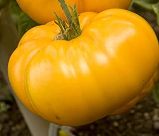 Heirloom Yellow Brandywine Tomato by Stonysoil Seed Company