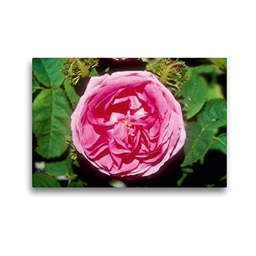 CALVENDO Premium Textil-Leinwand 45 x 30 cm Quer-Format Rosa centifolia muscosa: Sehr alte Moosrose, Leinwanddruck Verlag