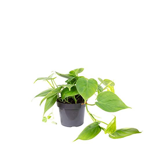 Baumfreund - Philodendron scandens - Höhe ca. 20 cm, Topf-Ø 12 cm