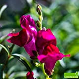 bocca di leone nana in miscuglio (semente)