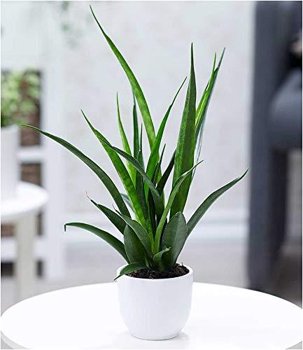 BALDUR Garten Sanseveria Kirkii, 1 Pflanze Luftreinigende Zimmerpflanze Bogenhanf Teufelszunge