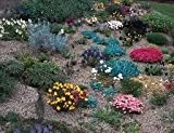 Collection of 10 Alpine Plants in 9CM POTS for Rockery BEDS Excellent Quality