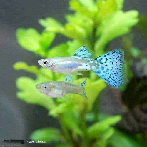 (熱帯魚)ブルーグラスグッピー(国産グッピー)(3ペア) 北海道航空便要保温