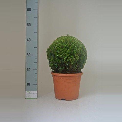 verschiedener Buchsbaum Buchsbaum Pflanzen im Topf Buxus (Kugel Ø 35 cm)