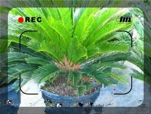 20pcs / mini sac Graines Sago Cycas revoluta graines bonsaï semences d'arbres semences en pot de fleurs des articles de bricolage jardin ménage