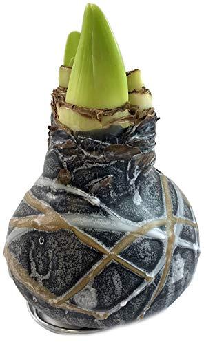 Fangblatt - WAX Amaryllis Rembrandt (schwarz) - gewachste Amaryllis Ø ca. 12 cm - Blumenzwiebel ohne Gießen als Dekortaion für Ihr Zuhause