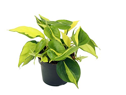 Efeutute, Scindapsus, (Epipremnum aureum) Sorte: Brasil, gelb-grünes-buntes Blattwerk, rankend, Ampelpflanze, luftreinigend (eine Pflanze im 12cm Topf)