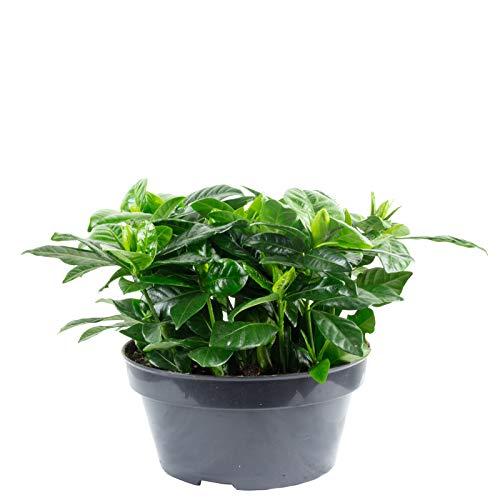 Gardenie weiß Gardenia jasminoides