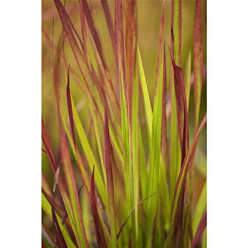 Imperata cylindrica var.koenig.'Red Baron' - Garten-Blutgras - 9cm Topf