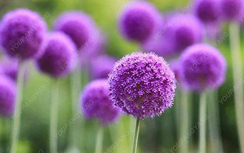 100 PCS/Sac oignon Graines géant Allium Graines Multicolor Balcon Fleurs belles plantes en pot de jardin à la maison noire