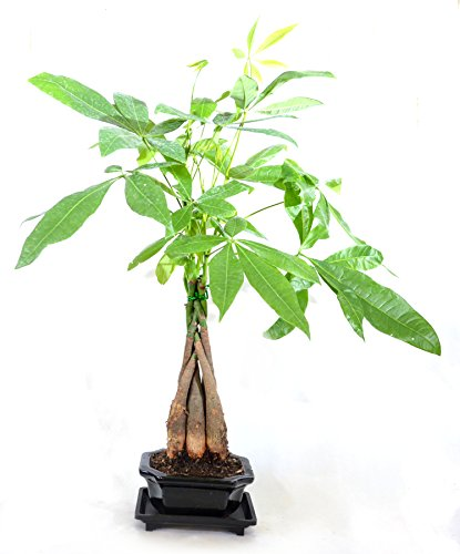 9GreenBox - 5 Money Tree Plants Braided into 1 Tree – Ceramic Pot Live Plant Ornament Decor for Home, Kitchen, Office, Table, Desk - Attracts Zen, Luck, Good Fortune - Non-GMO, Grown in The USA