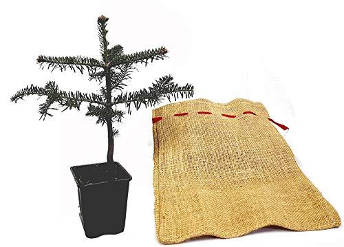 Seedeo® Nordmanntanne (Abies Nordmanniana ambrolauri) Pflanze ca. 25 cm Geschenkedition