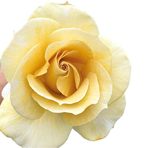 バラ苗 スイートマスタード 大苗7号専用角鉢入 黄色系 Rose for You(購入特典)ぼかし肥料1kg付き
