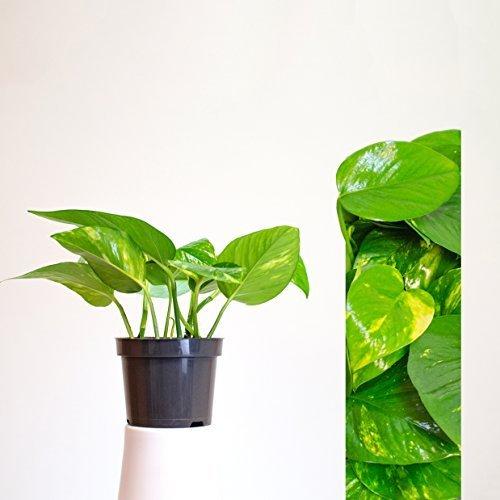 Scindapsus Epipremnum Efeutute in verschiedenen Grössen und Formen - 5 TÖPFE - am Moosstab, hängend als Ampel oder im Topf - Pflegeleichte immergrüne Zimmerpflanzen