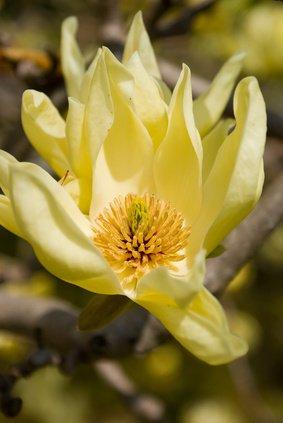 Magnolie Magnolia acuminata Gurkenmagnolie 5 Samen SELTEN